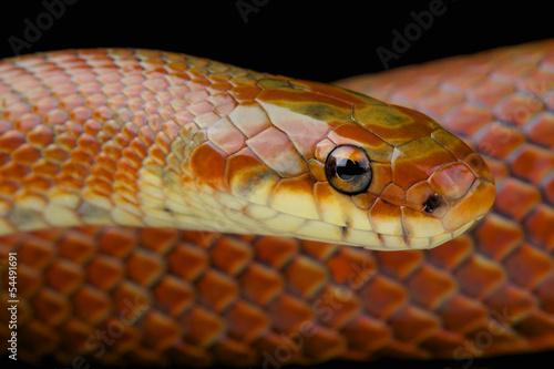Japanese forest rat snake / Euprepiophis conspicillatus