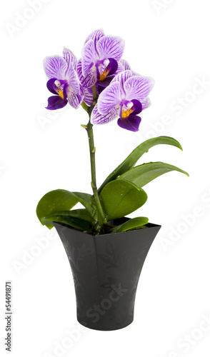 Small orchid  in the pot isolated on a white background