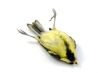 A close up of a deceased blue tit