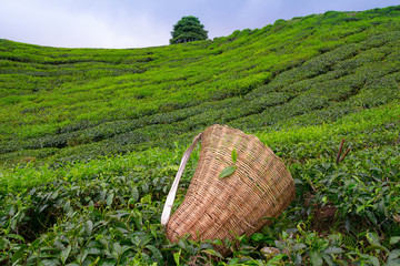 Tea picker bag and scissors with fresh leaf over a bush
