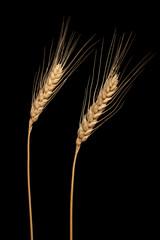 Wheat ears isolated on black