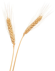 Wheat ear isolated on white