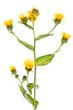 Alant (Inula helenium) - stehende Pflanze vor weißem Hintergrun