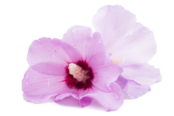 Hibiscus flower in white background