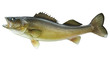 Big walleye isolated on a white background - 54500016