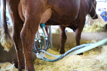 Demonstration of the milking machine