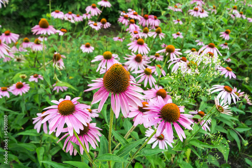 A field of beautiful Echinacea purpurea flowers