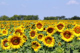 bright sunflower field summer landscape