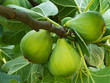 Green fiorone figs on tree