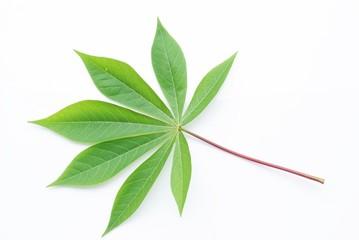 Green leaf isolate on white background, Cassava