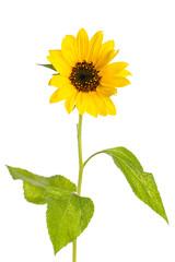Einzelne Sonnenblume auf weißem Hintergrund