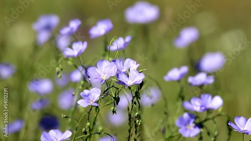 Wild flowers in the wind Asian Flax (Linum austriacum)