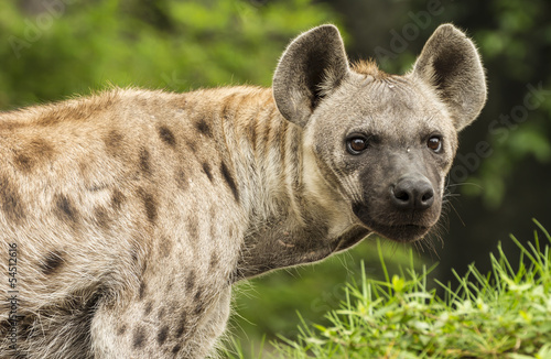 Poster Hyena Spotted Hyena in the wild