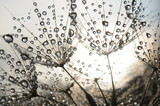 Dandelion seeds with dew drops - 54512856