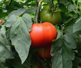 Tomato 32