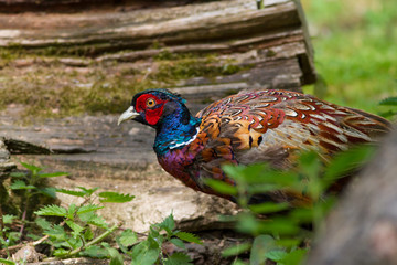 Colourful Pheasant