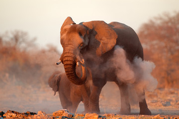 African elephant covered in dust, Etosha N/P