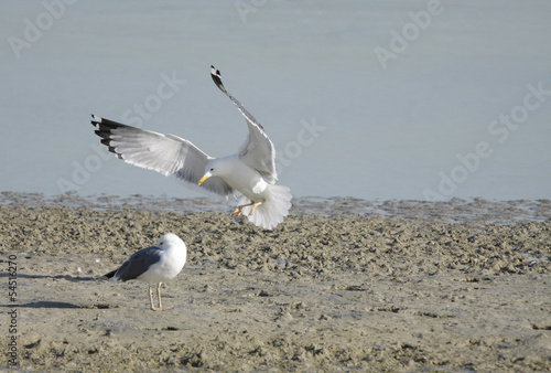 Landing of Seagull