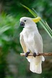 Sulphur-crested Cockatoo - Fine Art prints