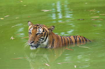 tiger swimming in the wild