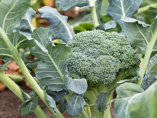 Knackig frischer Brokkoli vom Feld