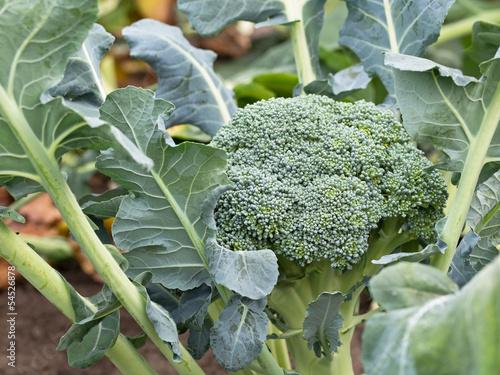 canvas print picture Knackig frischer Brokkoli vom Feld