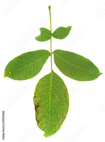 Leaf of walnut tree attacked by mite, Aceria erineus