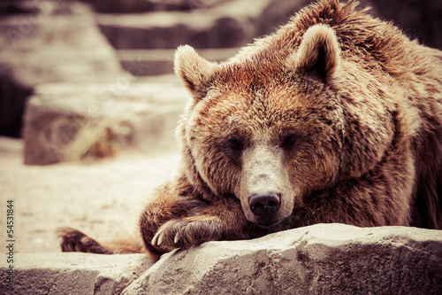 Brown bear in a funny pose