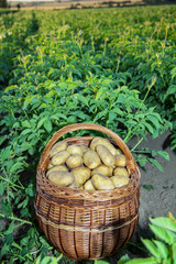 Basket full of potatoes in a potato field