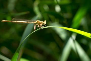 Libellula marrone su foglia