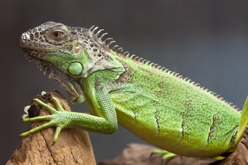 Green lizard sitting on the tree. close-up