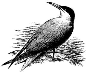Bird Caspian Tern