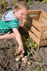 Kleinkind bei der Kartoffelernte