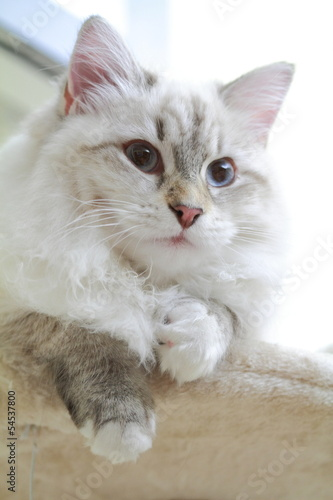 Kitten of siberian cat, neva masquerade type
