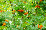 rowan fruits
