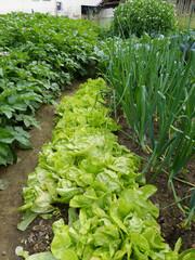 Biogarten Salat