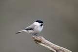 Marsh tit, Poecile palustris