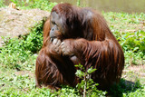 Orangutan thoughtful