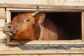 Cow  looks out from the window of a shed