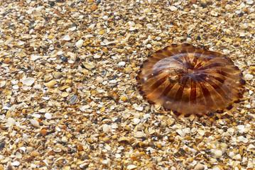 Medusa (Chrysaora hysoscella) sobre conchas