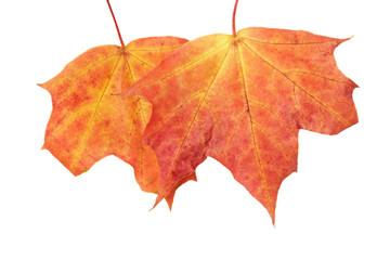 autummmn mapple leaves
