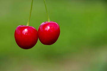 The ripe cherries