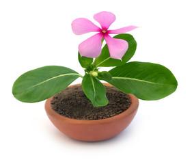 Medicinal Nayantara or Catharanthus roseus