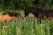 Pferdezuneigung im Mohn
