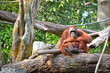 Orangutan (Pongo Borneo) in Singapore Zoo
