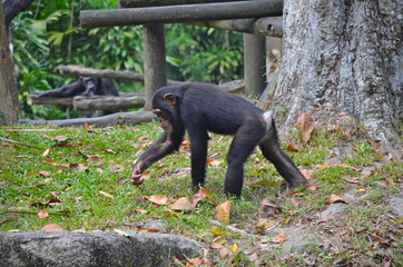 Chimpanzee in Singapore zoo