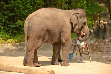 African Elephant in SIngapore zoo