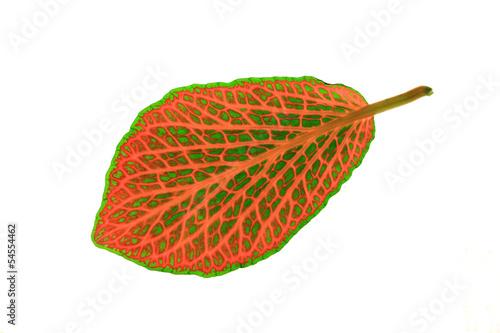 Fittonia ( mosaic plant )