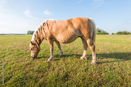 Grazing brown horse with braided mane.