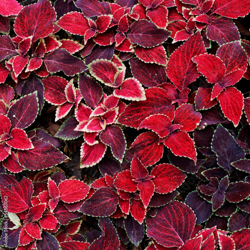 decorative red coleus leaves
